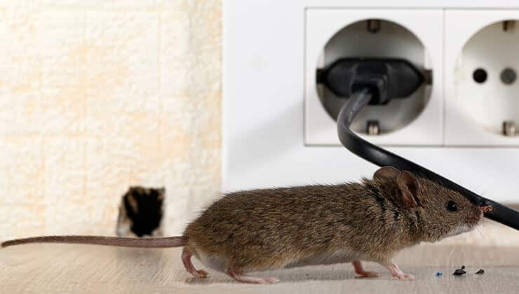 Mice near electric cable