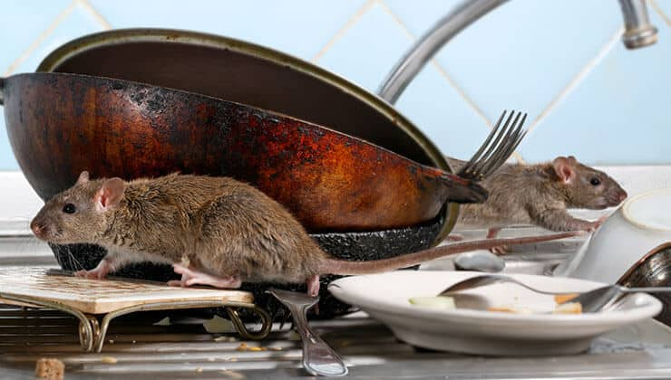 Rat Infestation: Signs of Rats & Prevention