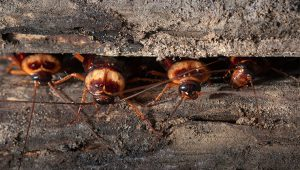 Wood Roaches
