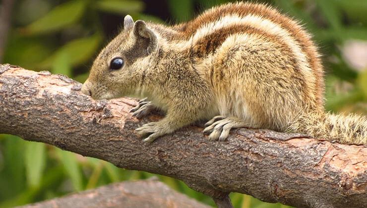 squirrel vs chipmunk
