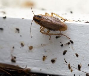 cockroach dropping