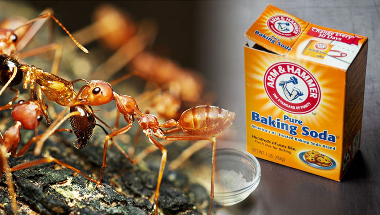 Does Baking Soda Kill Ants? An Effective Solution